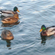 Ducks on water — Stock Photo