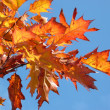 Stock Photo: Red maple at autumn