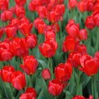 Red tulip at spring — Stock Photo