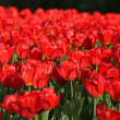 Foto Stock: Red tulip at spring
