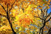 Yellow leafs on tree — Stock Photo