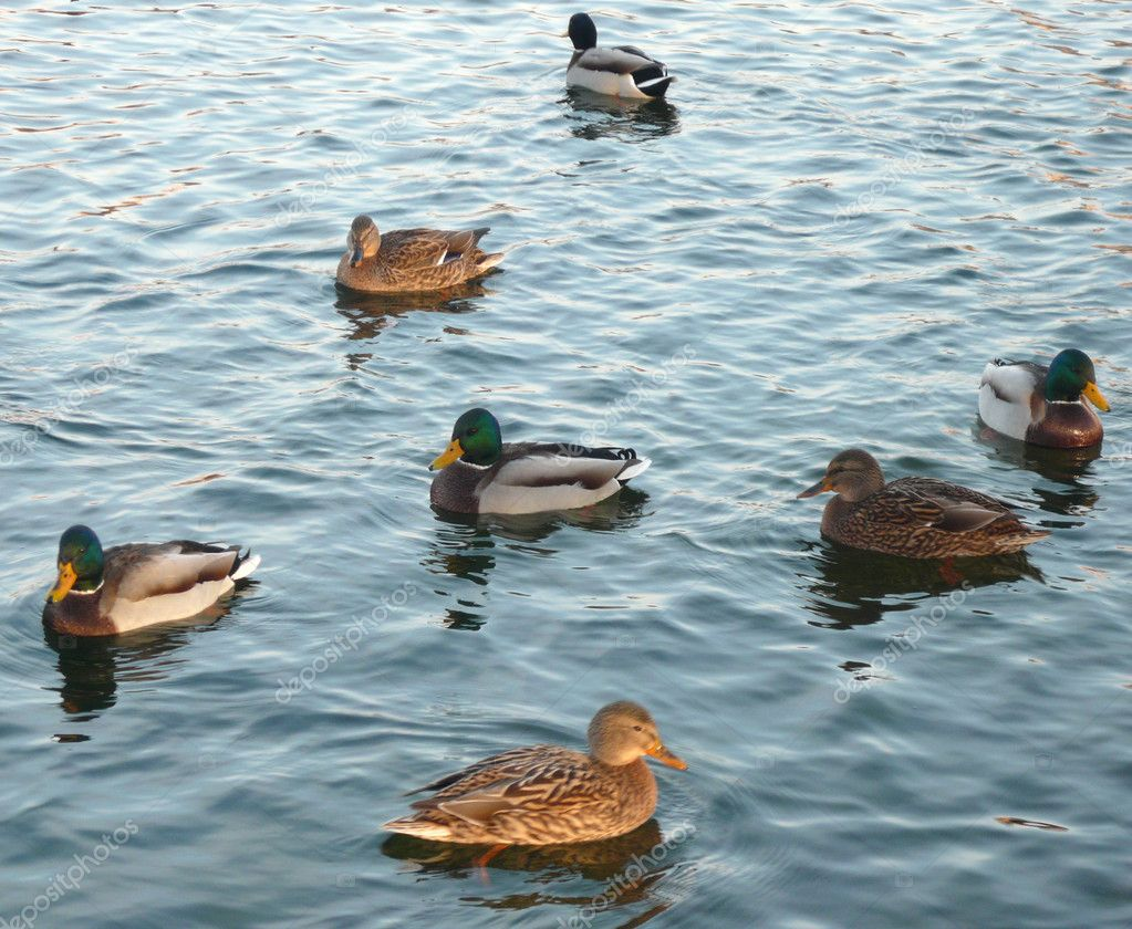 Ducks on water stock photo ru3apr 1760644 for Duck pond water