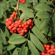 Ashberry with leafs - Stock Photo
