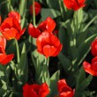 Red tulip at spring — Stock Photo #1785669