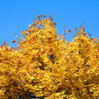 Yellow maple tree — Stock Photo #1785918