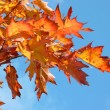 Stock Photo: Red maple