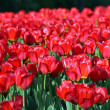 ストック写真: Red tulip at spring
