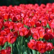 图库照片: Red tulip at spring