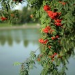 Ashberry with leafs — Foto de Stock