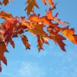 Red maple at autumn — Foto de Stock