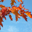 Red maple at autumn — Stock fotografie