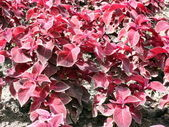 Red leafs on flowerbed — Stock Photo