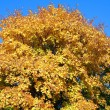 Yellow maple tree — Stock Photo #1858356