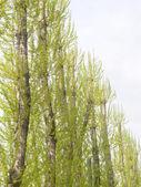 Huş grove — Stok fotoğraf