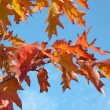Red maple at autumn - Stock Photo