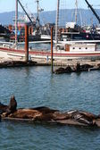 Sea lions near fishing boats — Stock Photo