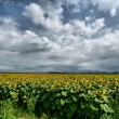 Sunflower landscape — Stock Photo