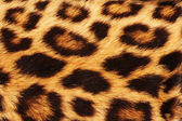 Real leopard Skin — Stock Photo