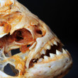 Piranhas Skelton — Stock Photo