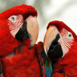 Macaw Parrots — Stock Photo #2400323