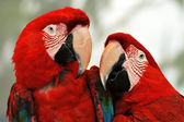 Macaw Parrots — Stock Photo
