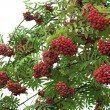 Royalty-Free Stock Photo: Branch of a mountain ash