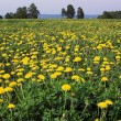 Dandelions — Stock Photo #1625769