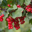 Red currant — Stock Photo #1774722