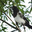 Magpie nestling — Stock Photo