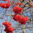 Viburnum — Stock Photo #1993485