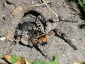 Tarantul — Stock fotografie