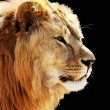 Royalty-Free Stock Photo: Lion\'s portrait