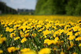 Sea of dandelions — Stock Photo