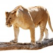 Lioness on a log — Stock Photo