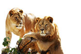 Lion family portrait — Stock Photo