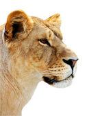Female lion portrait isolated — Stock Photo