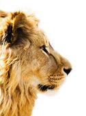 Lion's portrait — Stock Photo