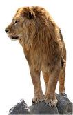 Lion on a stones — Stock Photo