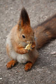 Squirrel with cookie — Stock Photo