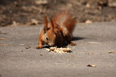 Small brown squirrel with nut — Stock Photo