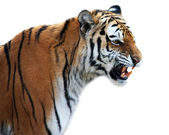 Tiger roaring — Stock Photo