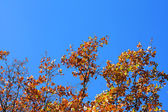 Yellow leafs at oak and clear blue sky — Stock Photo