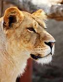 Female lion portrait — Stock Photo