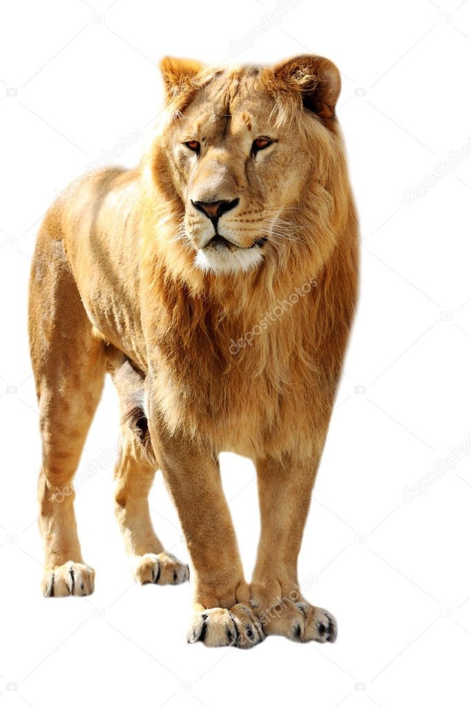Big lion stands isolated on the white  Photo #1613717