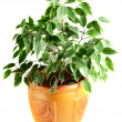 Ficus in a flowerpot — Stock Photo