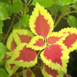 Croton Red in Yellow — Stock Photo