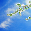 Branch of apple on blue sky — Stock Photo