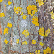 Bark of a tree a lichen — Stock Photo