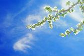 Branch of apple on blue sky — Stock Photo