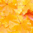 Orange maple leafs — Stock Photo #1601429